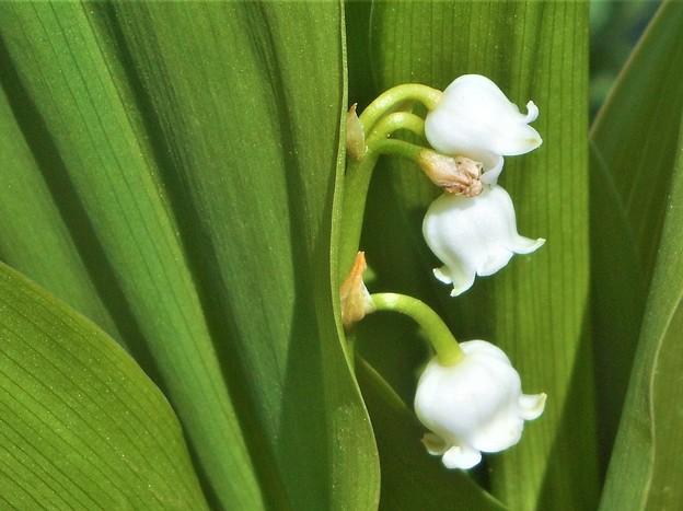 鈴蘭の白い花