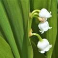 写真: 鈴蘭の白い花