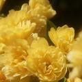 写真: 初夏に咲く モッコウバラ