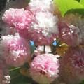 フィナーレを飾る菊桜@千光寺山