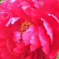 赤紅色の牡丹(ぼたん)の花@三原城址周辺