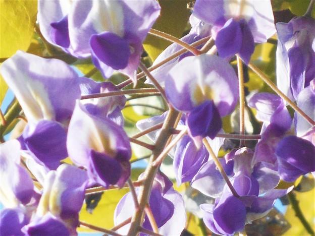 千光寺山の藤の花