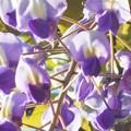Photos: 千光寺山の藤の花