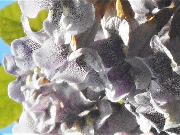 千光寺山の桐の花
