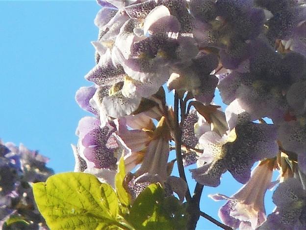 薄紫色の桐の花@千光寺山