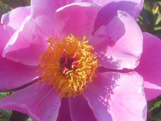 GWの和食屋さん宅の芍薬(しゃくやく)の花