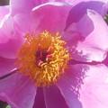 Photos: GWの和食屋さん宅の芍薬(しゃくやく)の花