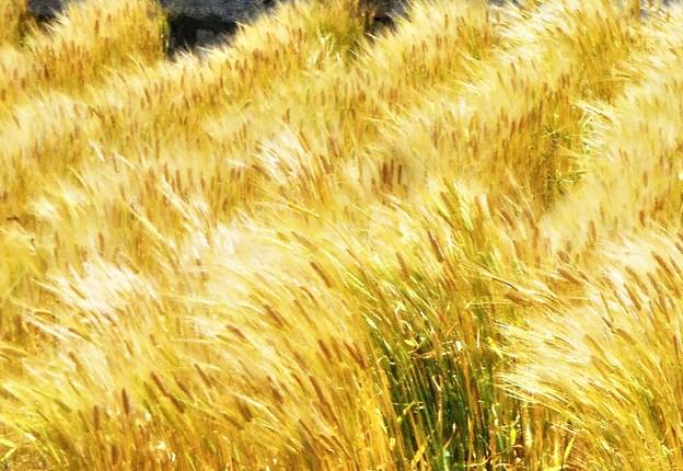 一足早い麦の秋@地ビール工場向けの麦畑