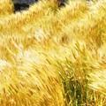 写真: 一足早い麦の秋@地ビール工場向けの麦畑