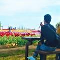 写真: GWのチューリップ畑は花盛り@広島・世羅高原