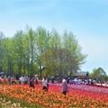 写真: GWのチューリップ畑@初夏の世羅高原