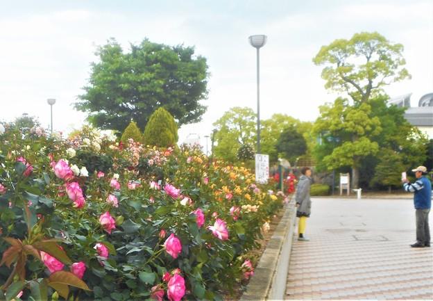 ハイ、ローズ!@緑町公園・ばら花壇前にて