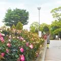 写真: ハイ、ローズ!@緑町公園・ばら花壇前にて