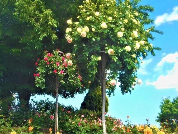 薔薇のオベリスク@緑町公園@福山ばら祭2018会場(予定)