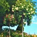 写真: 薔薇のオベリスク@緑町公園@福山ばら祭2018会場(予定)