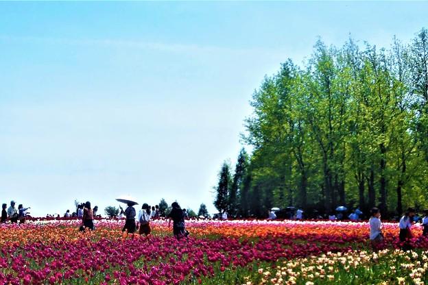 GW五月晴れのチューリップ畑@世羅高原・観光農園