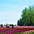 写真: GW五月晴れのチューリップ畑@世羅高原・観光農園
