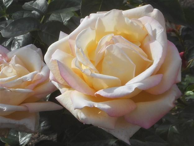 """ばら公園の薔薇""""ピース""""@福山ばら祭(準備中)"""