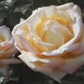"""写真: ばら公園の薔薇""""ピース""""@福山ばら祭(準備中)"""