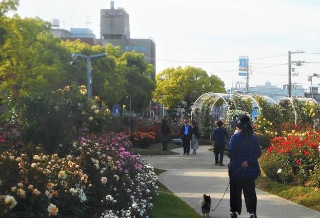 五月のばら公園の散歩道@福山ばら祭2018(準備中)