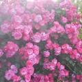 写真: 蔓薔薇アンジェラが満開@福山・ばら公園(準備中)