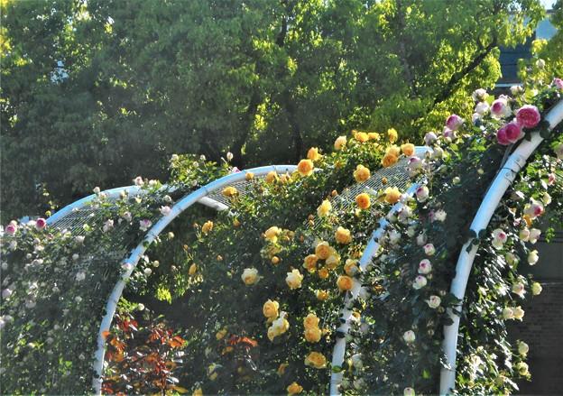 新緑とつる薔薇のアーチ@ばら公園