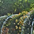 Photos: 新緑とつる薔薇のアーチ@ばら公園