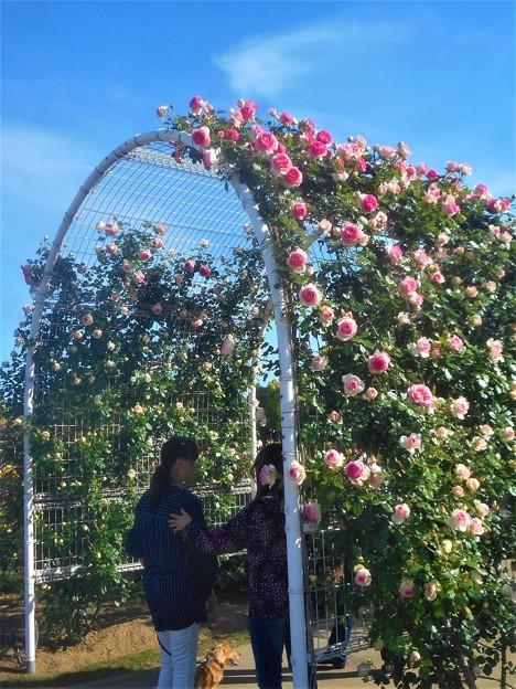 薔薇のアーチの散歩道@ばら公園@福山ばら祭2018(準備中)