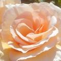 写真: 新緑の薔薇「バイ アポイントメント」@ばら公園(福山ばら祭準備中)