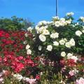 白い薔薇のオベリスクと紅いバラのアーチ@福山・ばら公園