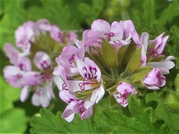 写真: 薄紫色のカトリソウの花