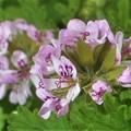 薄紫色のカトリソウの花