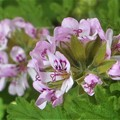 Photos: 薄紫色のカトリソウの花