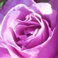 """写真: 風薫る五月の薔薇 """"マダム・ビオレ""""@ばら公園会場"""