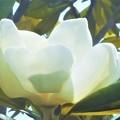 写真: 見上げれば@泰山木(タイサンボク)の白い大輪