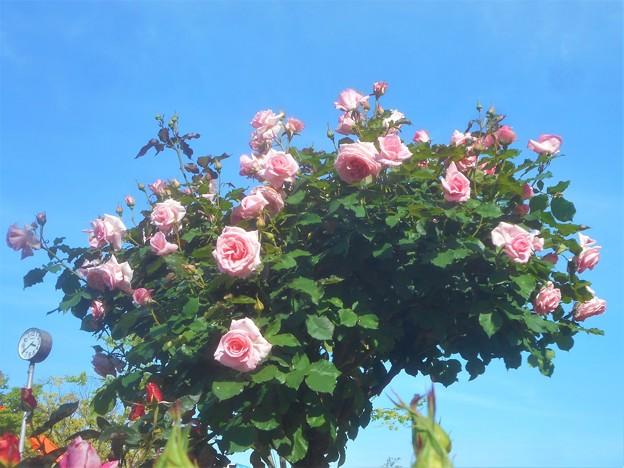 薔薇のオベリスク@ばら公園会場