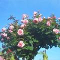写真: 薔薇のオベリスク@ばら公園会場