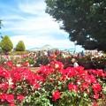 紅いばらチャールストンたちも満開のローズヒル@緑町公園@福山ばら祭