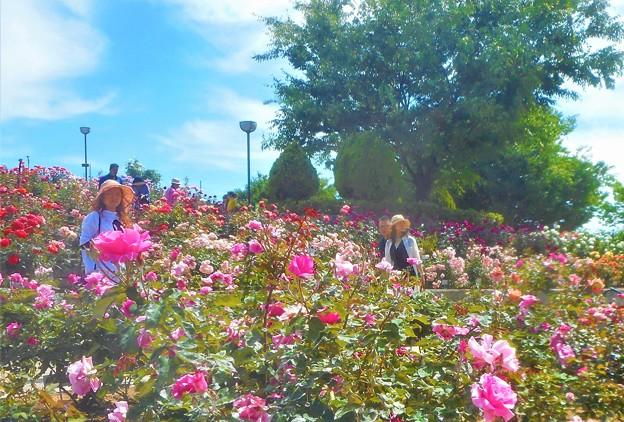 ローズヒルの薔薇人(バラード)たち@緑町公園@福山ばら祭2018