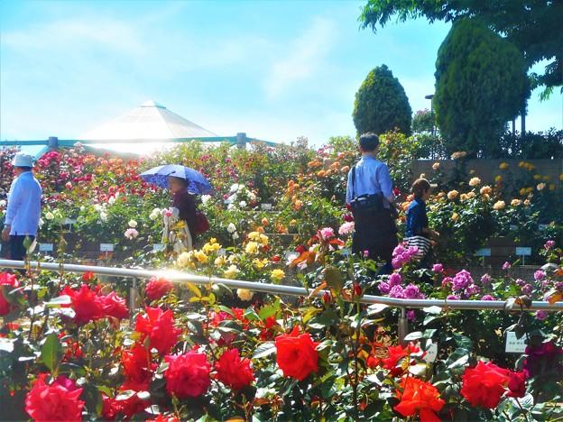 ローズヒルの薔薇たち@緑町公園@福山ばら祭