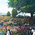 光あふれてローズヒルは花盛り@緑町公園@福山ばら祭2018