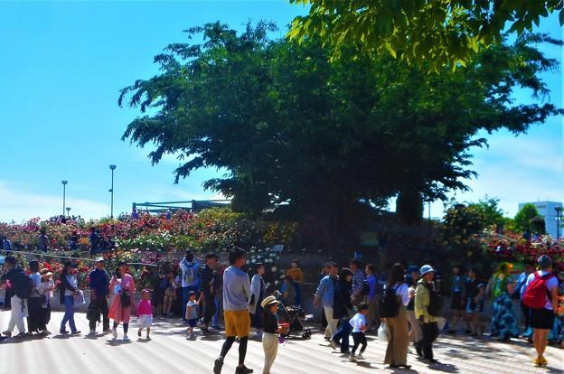 のどかなバラ一色の日曜日@緑町公園ローズヒル@福山ばら祭