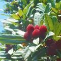 ヤマモモの紅い実@新高山周辺2