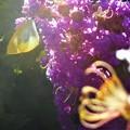 写真: ビオレ(バイオレット)な百日紅(サルスベリ)に モンシロチョウ@お花畑