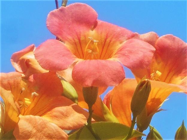 猛暑に咲く ノウゼンカズラの橙(あか)い花@備後路