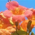写真: 猛暑に咲く ノウゼンカズラの橙(あか)い花@備後路
