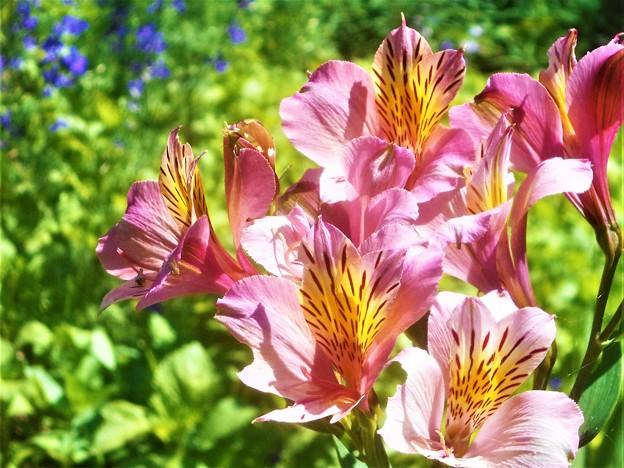 山頂遊歩道に咲く アルストロメリアの花