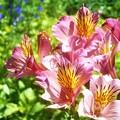 写真: 山頂遊歩道に咲く アルストロメリアの花