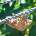 写真: 空蝉の綱渡り@大暑@熊谷で41.1℃(国内最高を更新)