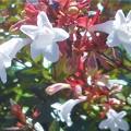 写真: 白いアベリアの花@新高山